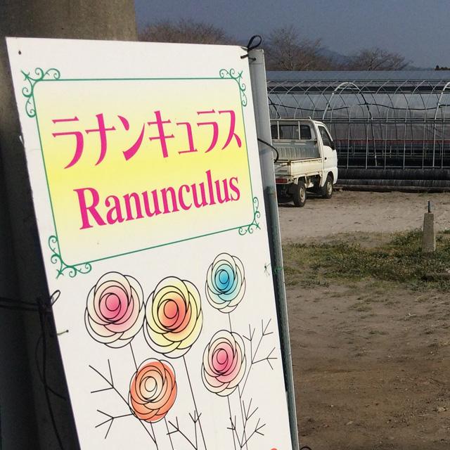綾園芸 ラナンキュラス