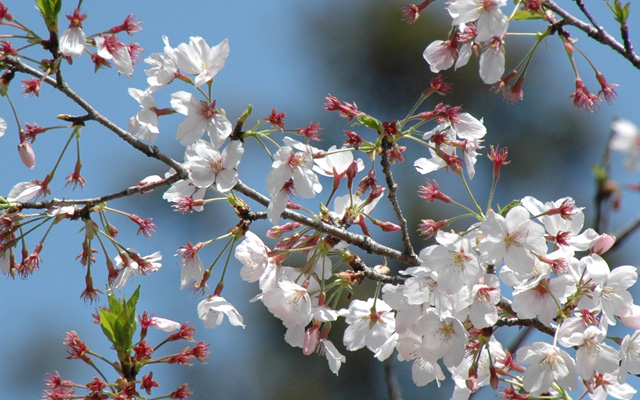 高鍋城桜まつり~桜と人と暮らふと~