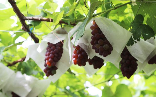 ルピナスパーク 約20種のぶどうの収穫体験